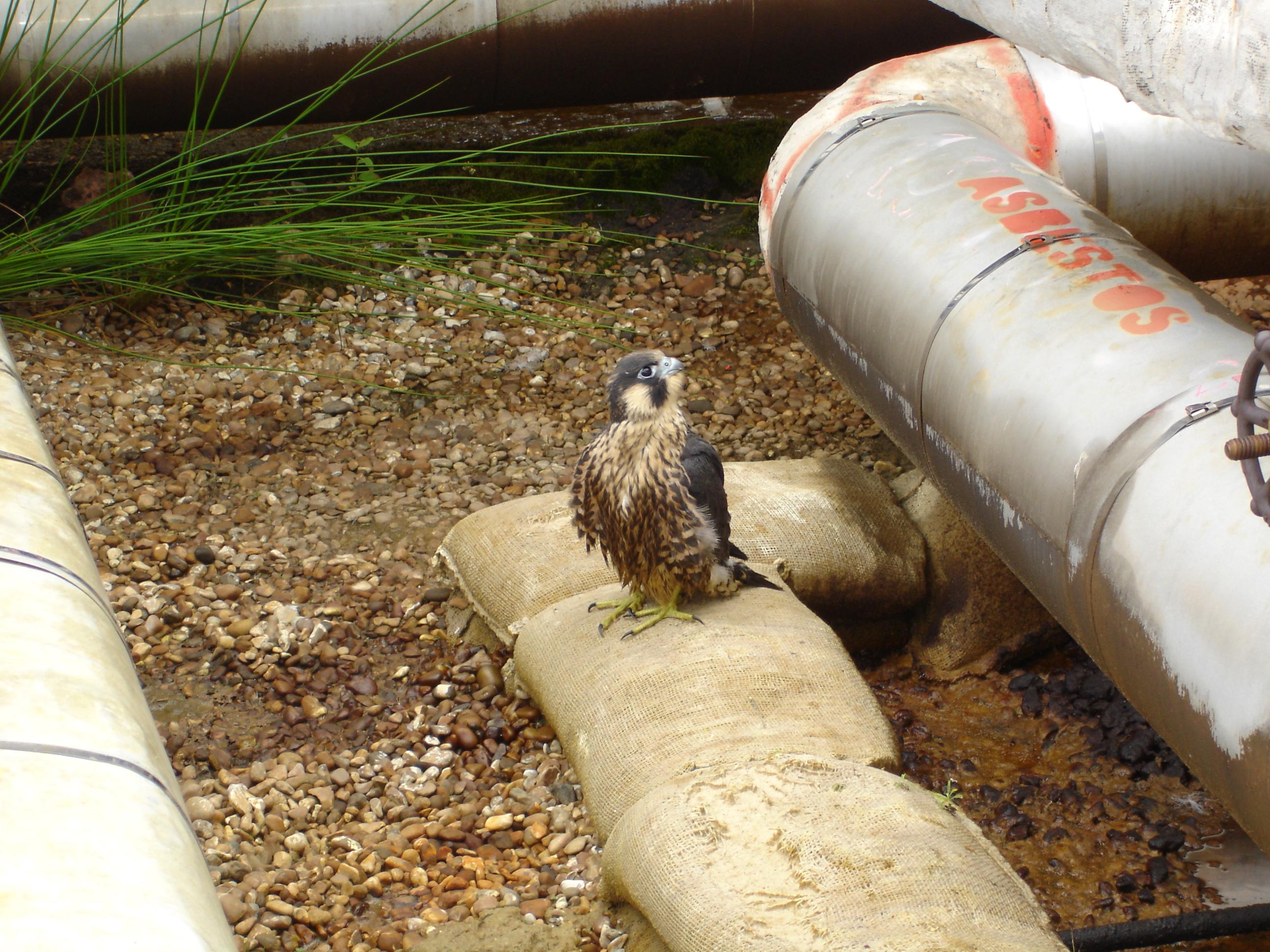 2013 fledgling